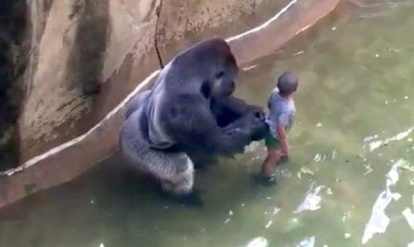 【動画】 動物園のマウンテンゴリラの檻に子供が落下!!ゴリラ射殺!!