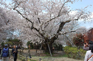 日本一太い桜