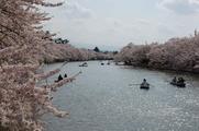桜とお濠とボート