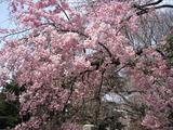 御苑の桜2008