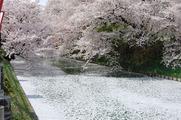 散り桜と花いかだ(その2)