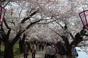 西濠の桜のトンネル