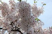 はち切れんばかりの桜