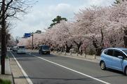 先ずは桜並木がお出迎え