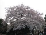この桜の下ですよ!