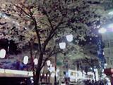 中野通りの夜桜