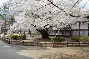 日本最古の桜