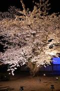 日本最古の夜桜