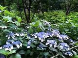 中央公園の紫陽花