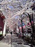 GGWT前の桜2009