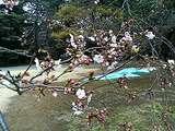 去年の御苑の桜