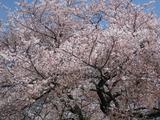 2008年の桜