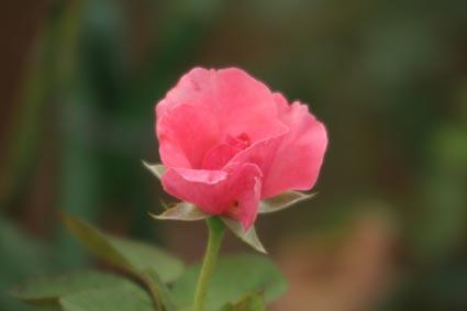 抱えきれないほどの薔薇