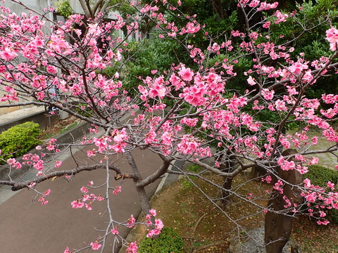 1404寒緋桜2