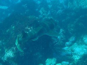 ネコザメ1512伊豆大島