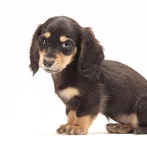 typeMV_miniature-dachshund