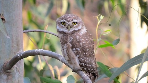 owl-1484782__340