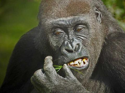 gorilla-1114750_1280