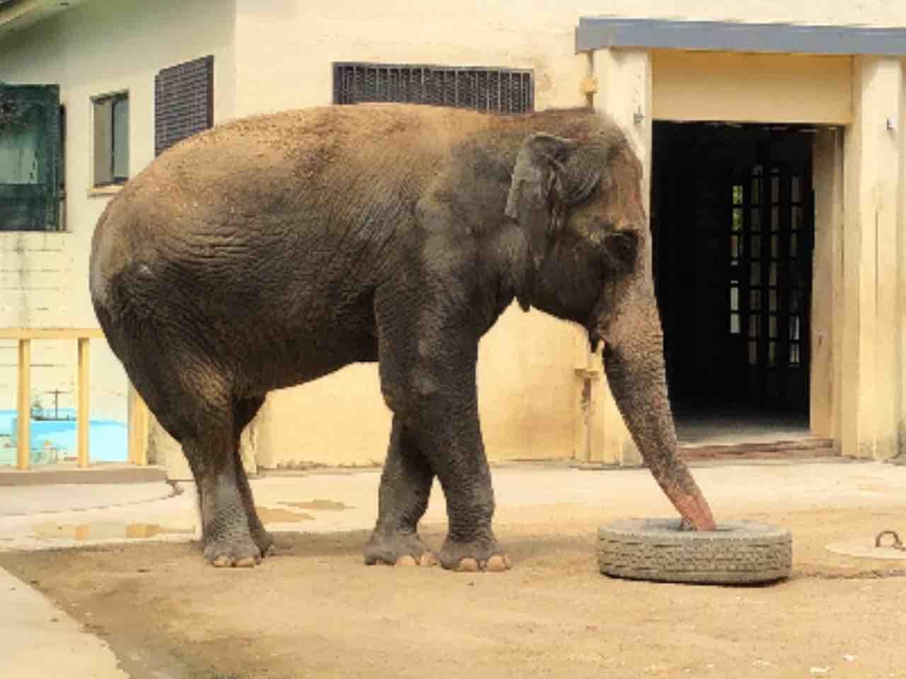 象の足 wiki