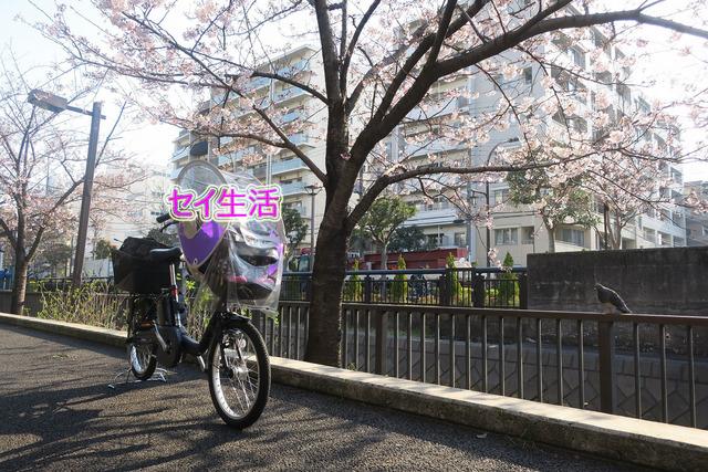 パパチャリと桜とチャイルドシート (1)