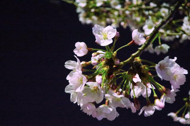パパチャリと桜とチャイルドシート (9)