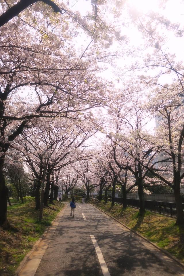 パパチャリと桜とチャイルドシート (11)