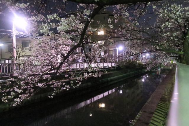 パパチャリと桜とチャイルドシート (8)