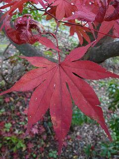 赤い葉UP