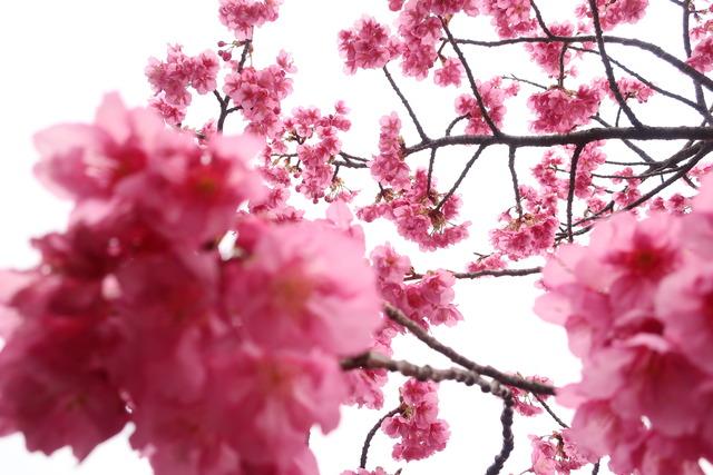 都内の河津桜