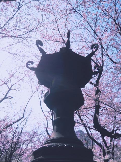 靖国の桜001