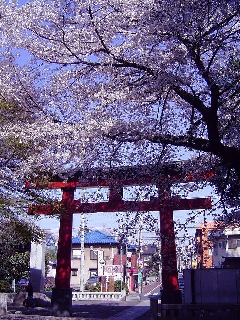 大宮八幡宮の桜4