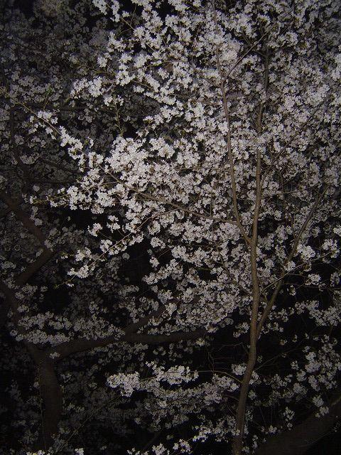 代々木公園夜桜A