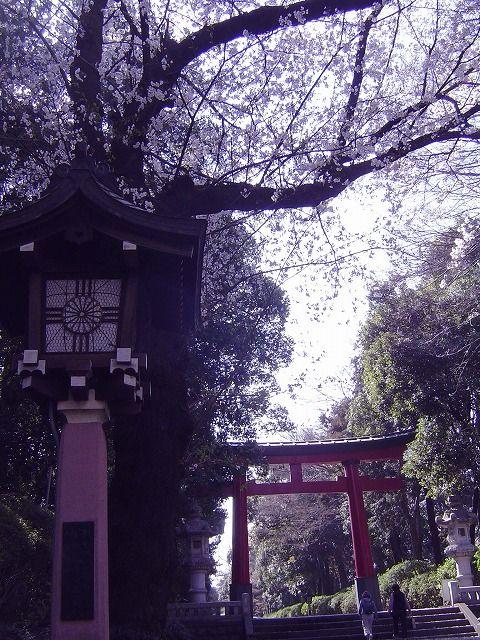 大宮八幡宮の桜3