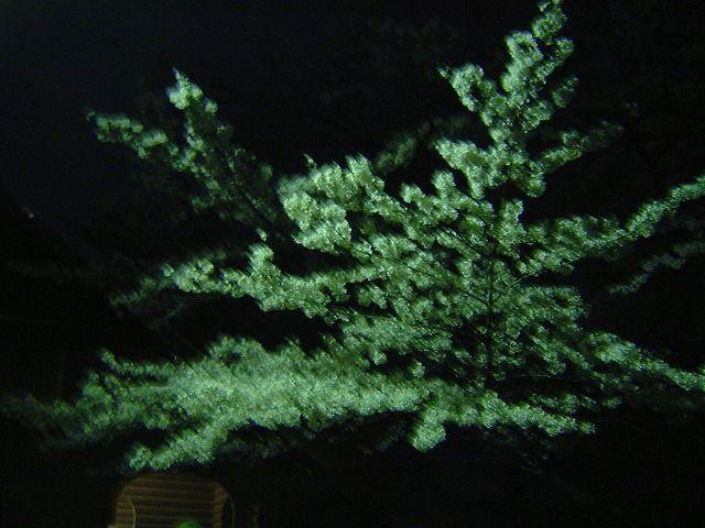 代々木公園夜桜1