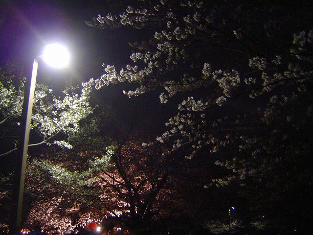 代々木公園夜桜2