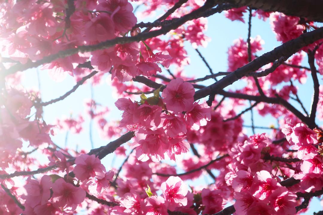 大横川の桜 (1)