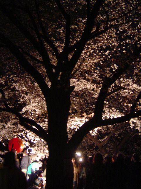 代々木公園夜桜3