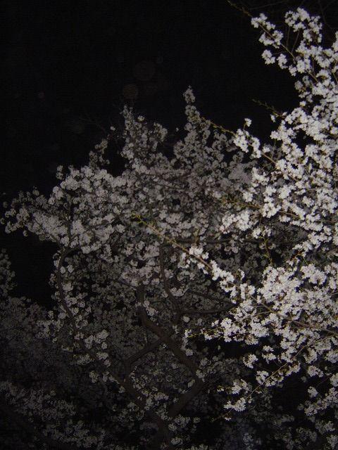 代々木公園夜桜9