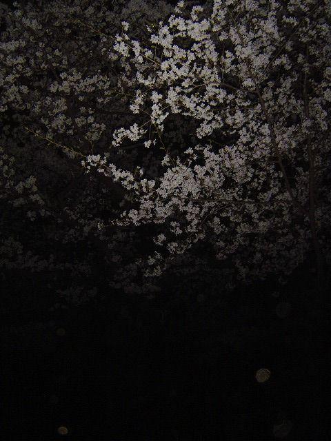 代々木公園夜桜8
