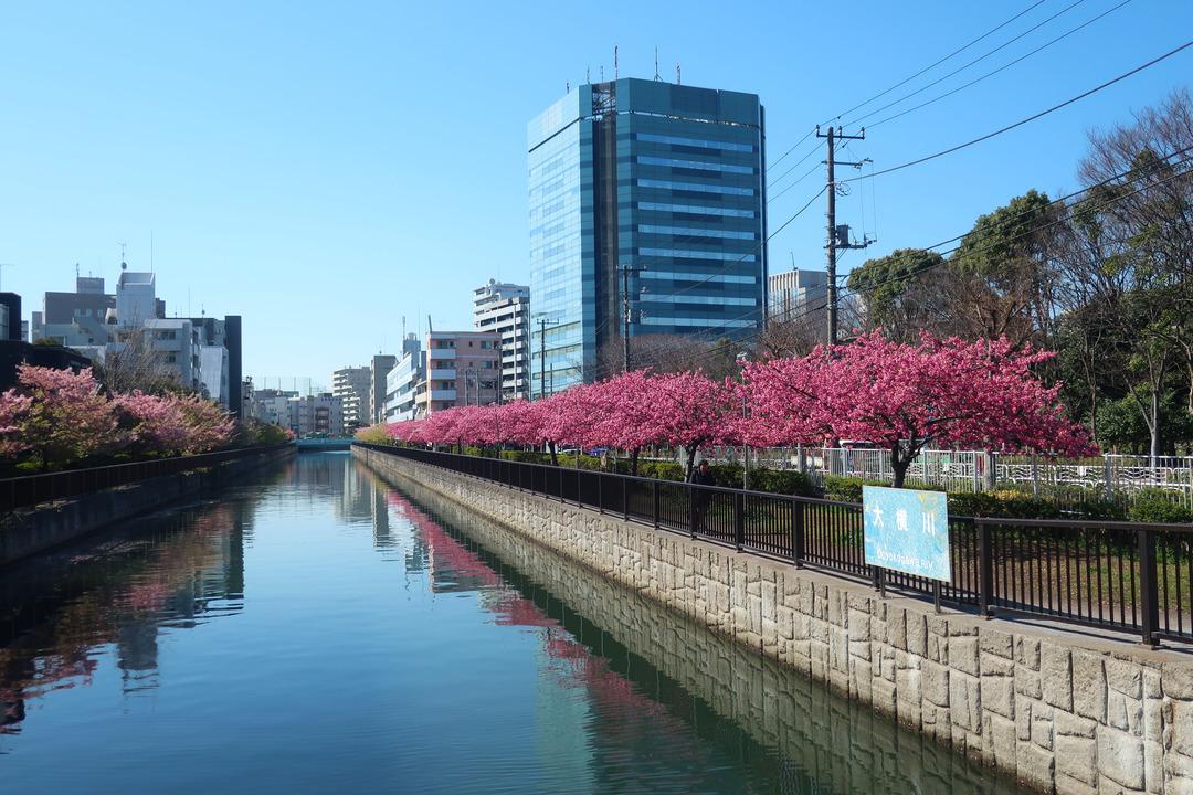 大横川の桜 (2)