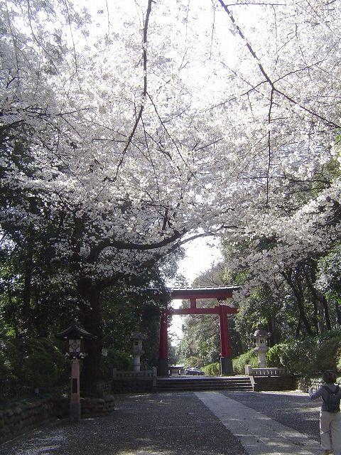大宮八幡宮の桜2