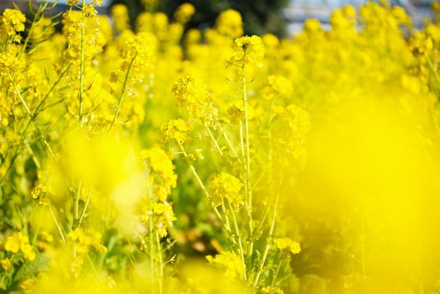 菜の花 (4)