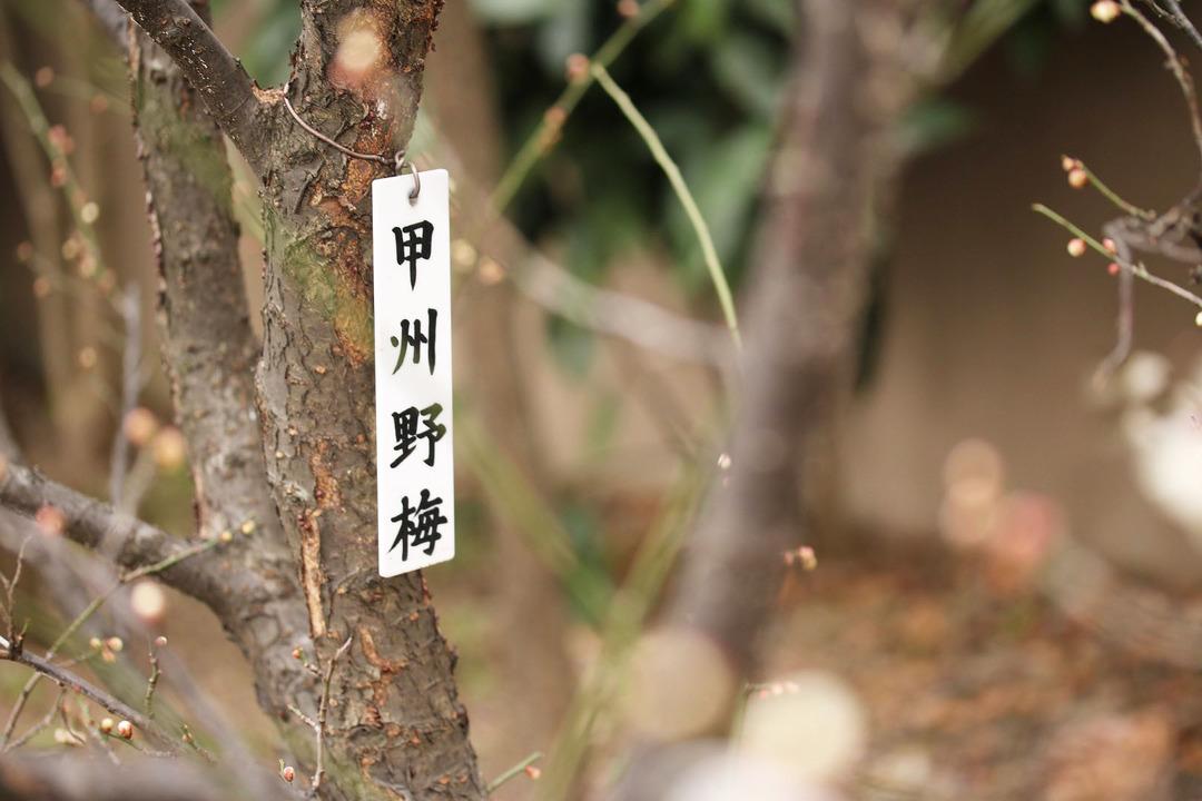亀戸天神梅まつり (12)