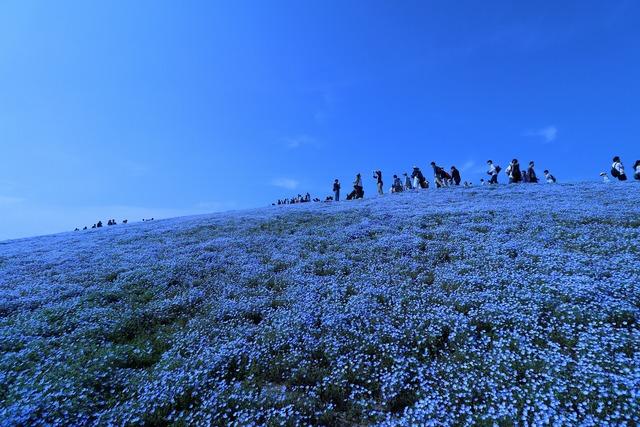 ネモフィラの丘 (1)
