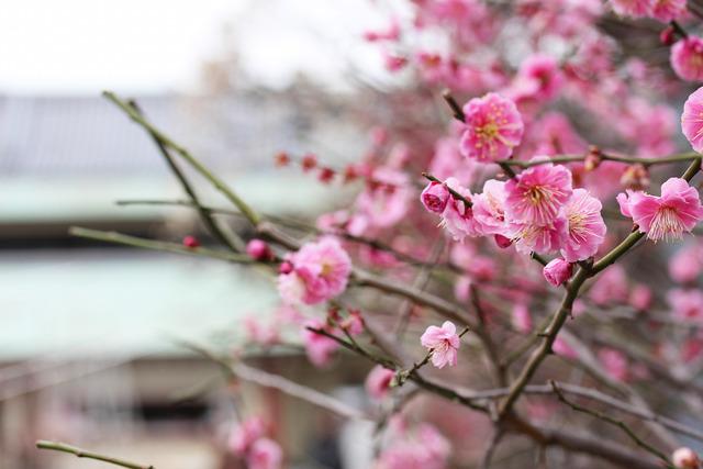 亀戸天神社 (17)