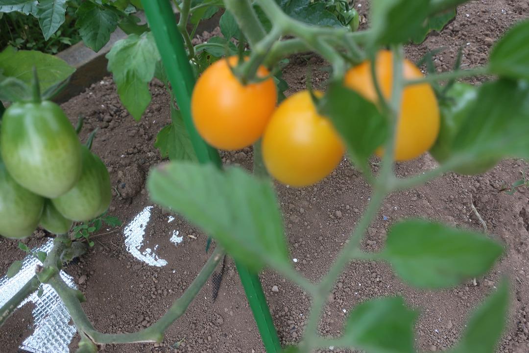 ミニトマトとキャベツ (16)