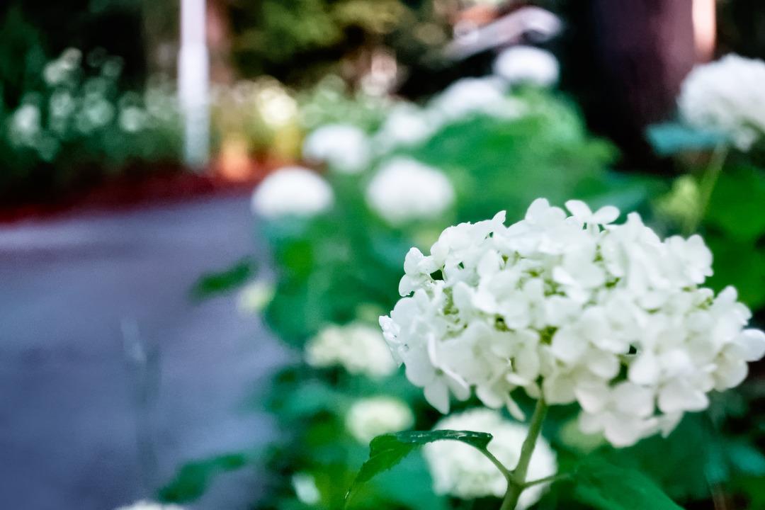 白紫陽花 (1)