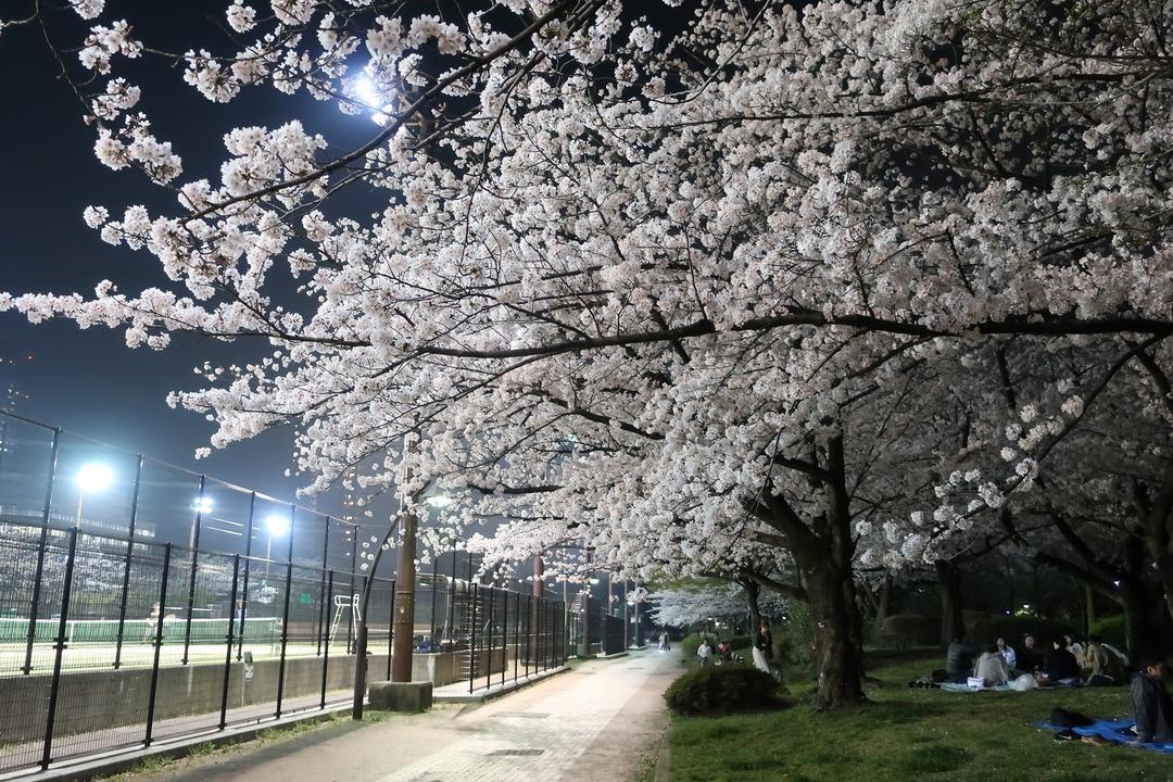 夜の桜 (3)