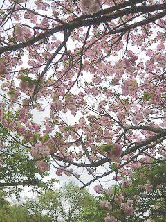 桜と曇り空