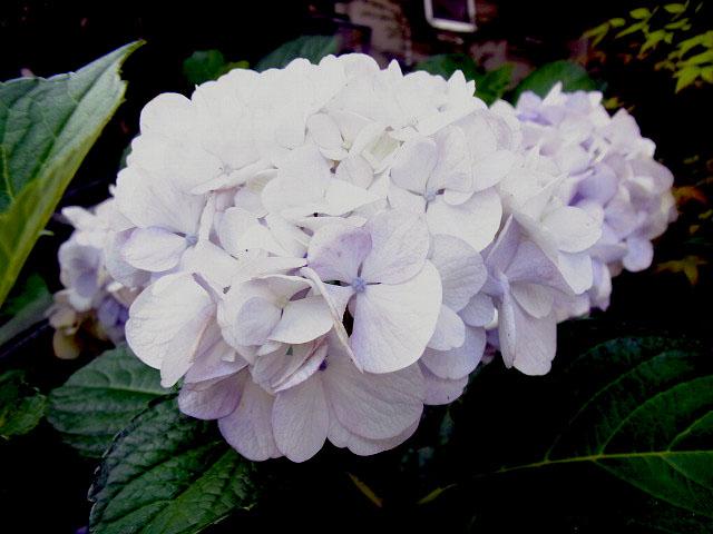 紫陽花 (6)